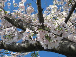 Flowers of a Cherry Blossom Tree in Washington, DC